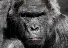 gorilla-752875_1920