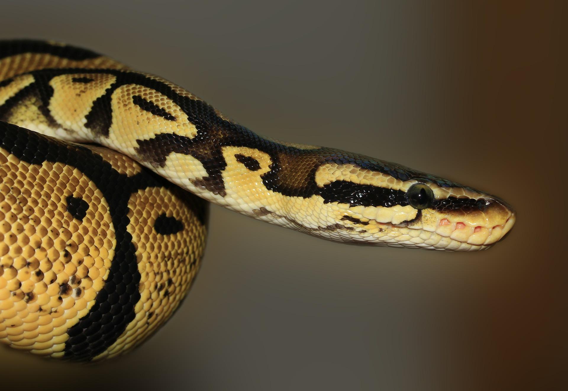 snake-419043_1920